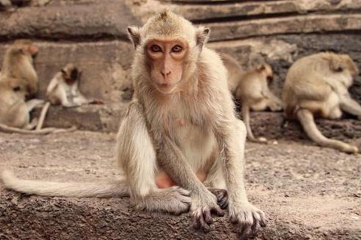 Monos dan buenas noticias: estudios dicen que humanos sí generarán inmunidad al Covid