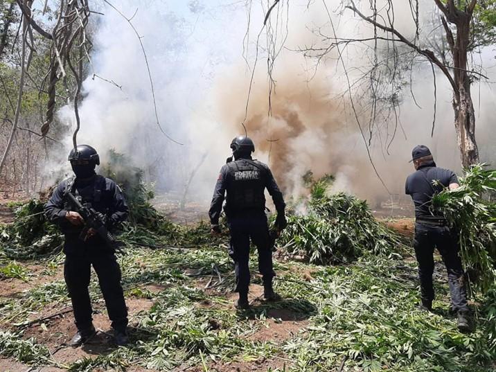 A través de sobrevuelos, Policía Estatal localiza plantío de presunta mariguana en Mazatlán